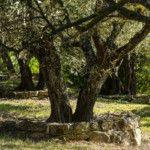 Le parc et ses oliviers